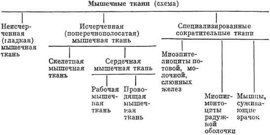 Мышечные ткани (схема)