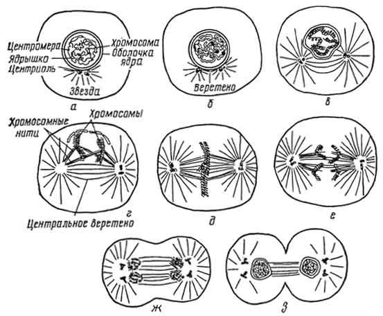 Схема митоза (по Манзия):