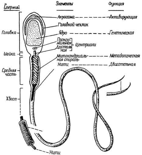 Схема строения спермиев