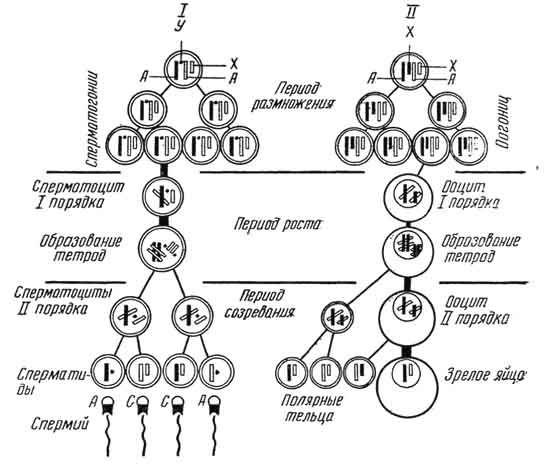 Развитие сперматогенеза
