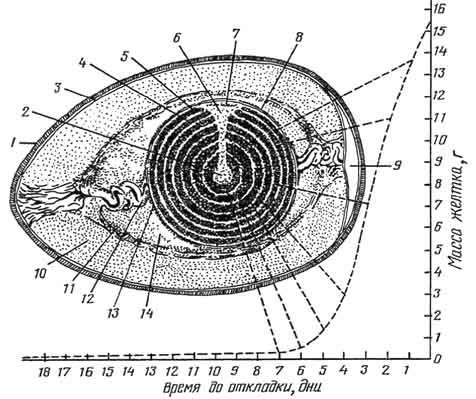 Схема строения куриного яйца: